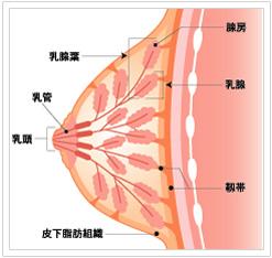 乳の構造図
